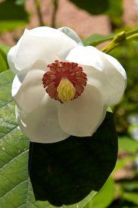 Magnolia_sieboldii